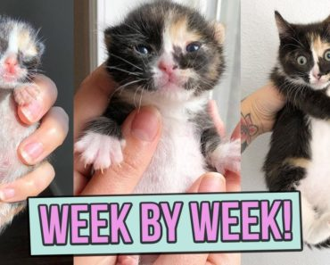 Learn How Baby Kittens Grow: 0-8 Weeks!