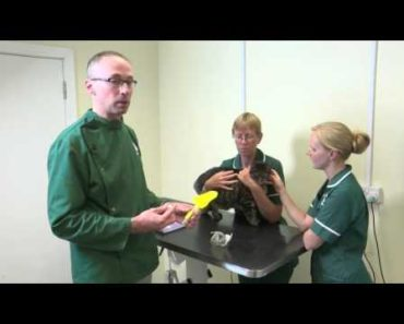 Pet Care Tips- How vets take a urine samples