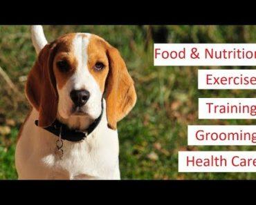 Beagle 101 – Feeding, Training, Exercise, Grooming & Health Care of a Beagle