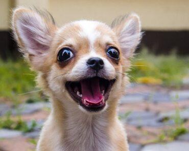 20 Funny Chihuahuas