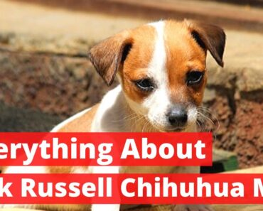 Everything about the Jack Russell Chihuahua Mix