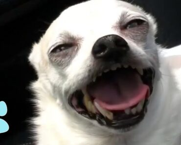 Funniest Chihuahuas Ever!