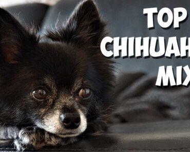 Top 40 Most Popular Chihuahua Mixes [2020]