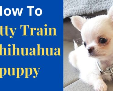 How to easily potty train Chihuahua puppy? Effective potty training