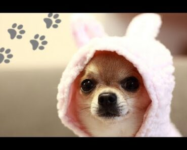 LOVELY Chihuahuas Being SO CUTE!
