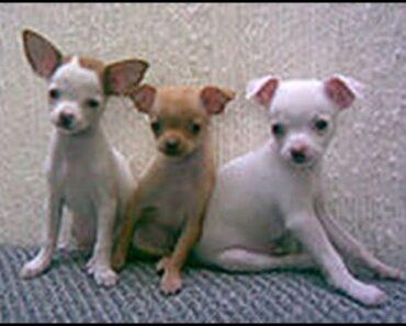 Potty Training A Chihuahua: You need help to be Potty