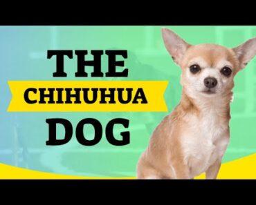 chihuhua dog