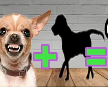 TOP 10 MOST POPULAR CHIHUAHUA MIX BREEDS