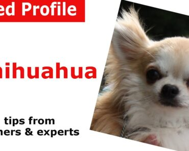 Chihuahua Dog Breed Advice