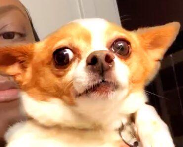 Cutest Funny Chihuahua Videos