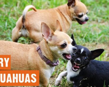 Angry Chihuahuas Compilation