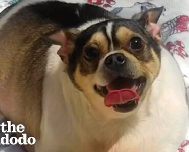 Chunky Chihuahua Loses Half His Body Weight