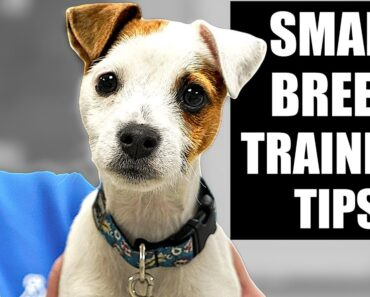 Training A Small Breed Puppy