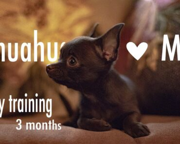 Chihuahua Mia 3 months old ~very beginning of our training~