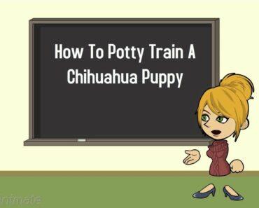 Chihuahua Potty Training Part 1