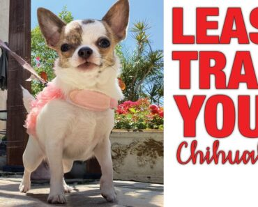 How to leash train your Chihuahua