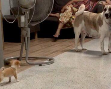 Chihuahua Puppy Barks At Bigger Dog
