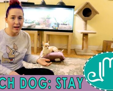 Stay Command for Small Chihuahua Dog Training