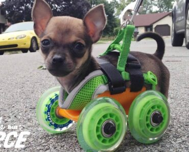Tiniest Puppy Loves To Race Around On His Wheels |