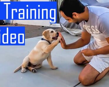 Labrador Puppy Learning and Performing Training Commands