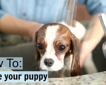 How To Safely Bathe a Puppy at home
