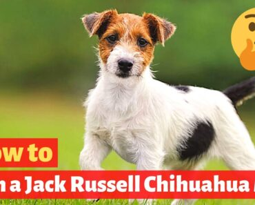 How to Train a Jack Russell Chihuahua mix? Effective and