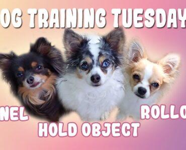 Dog Training Tuesdays 10: Chihuahua Training Videos