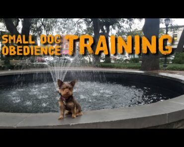 The best obedience training for small dogs