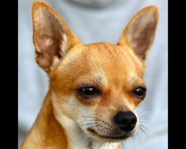 ***Chihuahua Potty-Training Free-Mini Course***