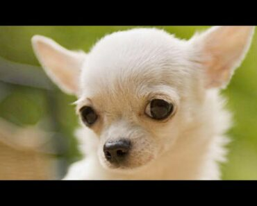 Funny Chihuahua Dogs Compilation NEW