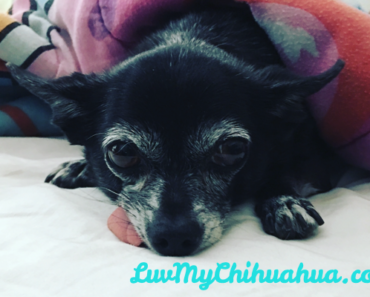 Are Chihuahuas Good Pets?