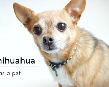 A Chihuahua As a Pet, Tips And Info