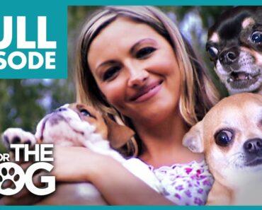 The Chihuahua Brat Pack: Jodie Marsh