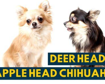 Deer Head Chihuahua Vs