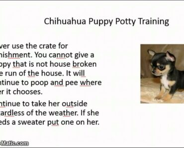How Can I House Train My Chihuahua Puppy
