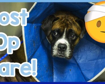 How to Care for Your Dog After Surgery! Post-Operation Care