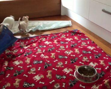 Naughty Chihuahua puppies