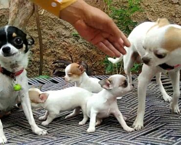 Pet Care-World smallest Dog breed // All About Chihuahua/// 7404011122-Doggyz