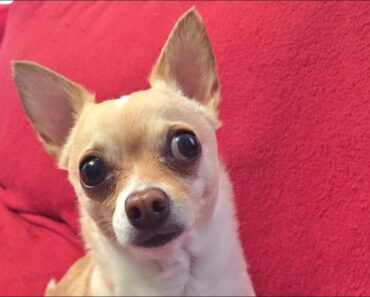 Funny Chihuahua Does NOT Want to Bark
