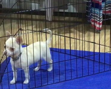 Nano, naughty Chihuahua, time out at the naughty corner