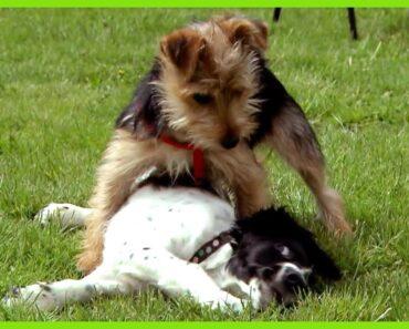 Cesar Millan Controls a Small Dog with Big Attitude