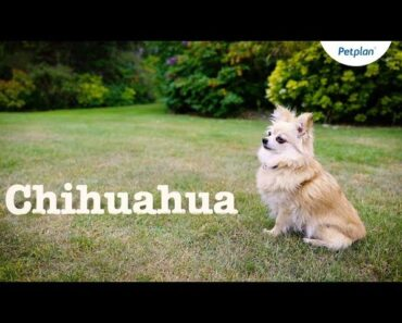 Chihuahua Dogs and Puppies: Lifespan, Temperament & Facts