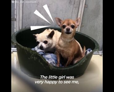 Chubby senior Chihuahua turns into a puppy once he gets