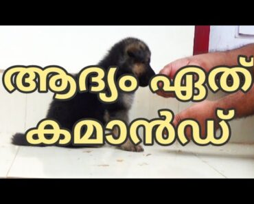 Pre-training Preperations : commands to begin with : GSD puppy