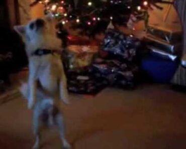 Sanchez the cute funny chihuahua pup doing the Christmas dancing