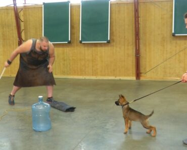 "Super Power Puppy ""Irma"" 11 Wks German Shepherd Sable Early"