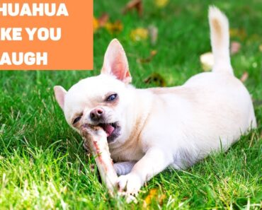 These Chihuahua are Guaranteed to Make You Laugh!