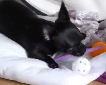Suitable toys for Black Chihuahua Puppy Plays with Cat Toys