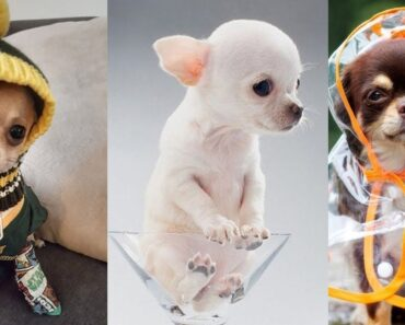 50 of the World's Cutest Chihuahuas Compilation Video [2020 Edition]