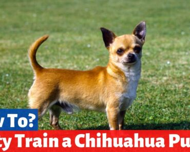 How to Potty Train a Chihuahua puppy in 9 Super